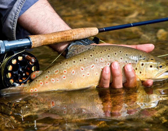 Angler holding a brown trout: Fly fishing in N.C.