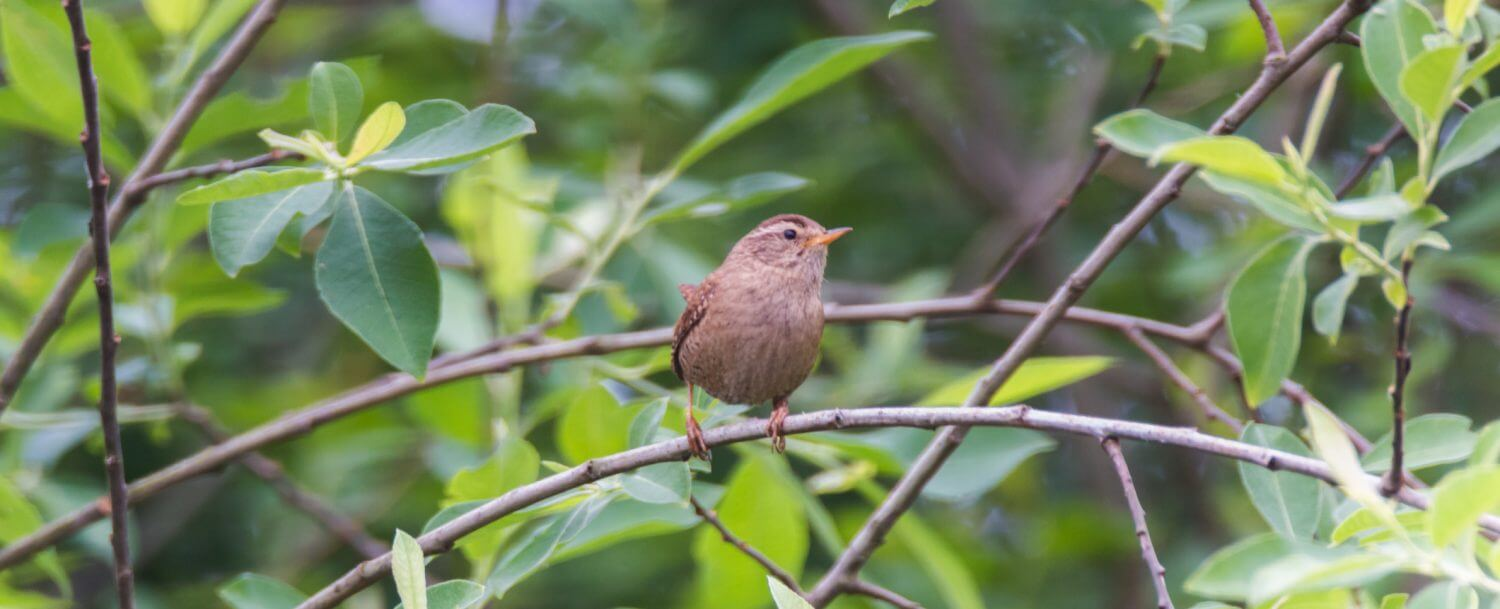 Carolina wren perched at the Lake Lure Flowering Bridge