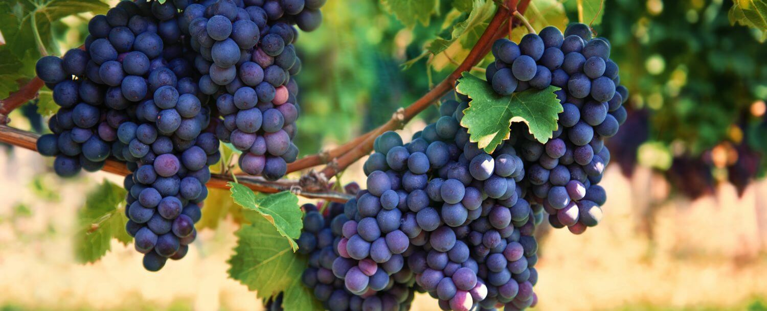 cluster-of-grapes-at-biltmore-estate-