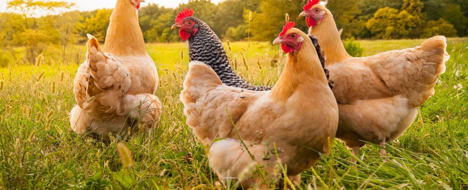 Four beautiful chickens in the field at Hickory Nut Gap Farm.