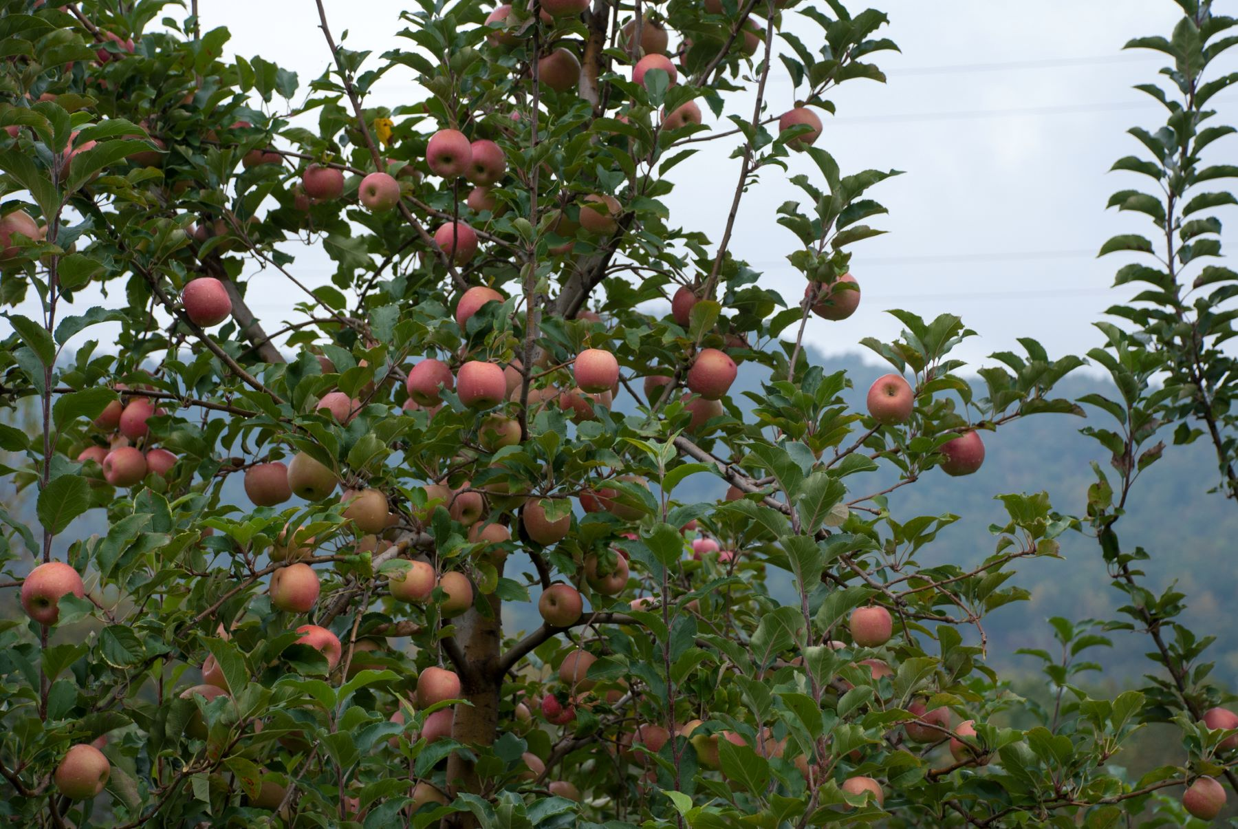 A beautiful apple tree with mountain views in the background at a Hendersonville, NC, apple orchard.